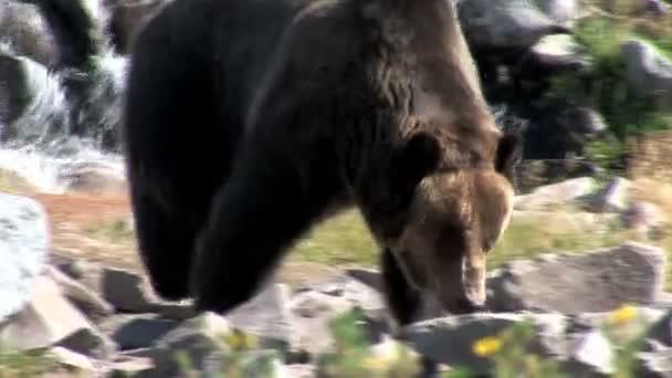 Medvěd grizzly v Yellowstone National Park
