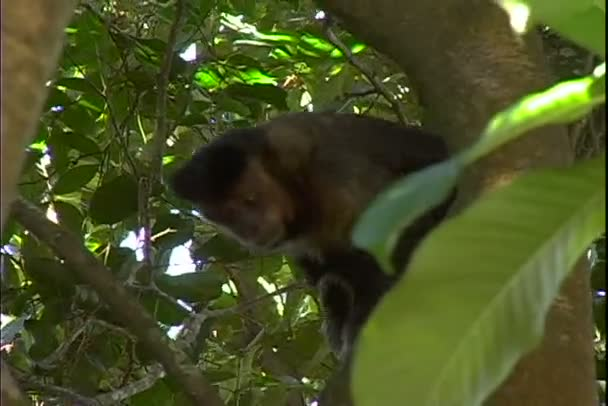 Brown Capuchin Monkey in tropical forest