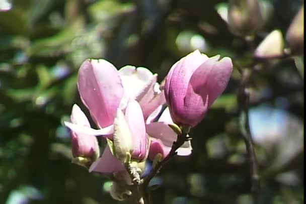 Květy magnólie na větve stromu
