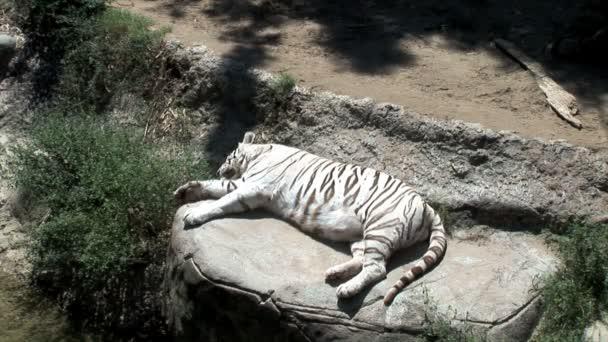 Bianco tigre dorme in giardino zoologico