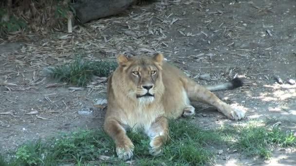 Lvice ležící na zemi v zoo