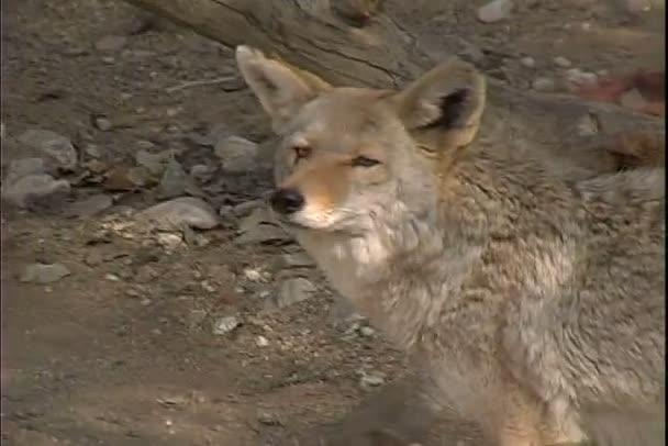 Wild Coyote, procházky v přírodě