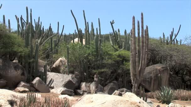 Giardino di cactus su Aruba
