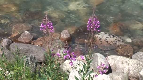 Fialové květy s kameny potoka