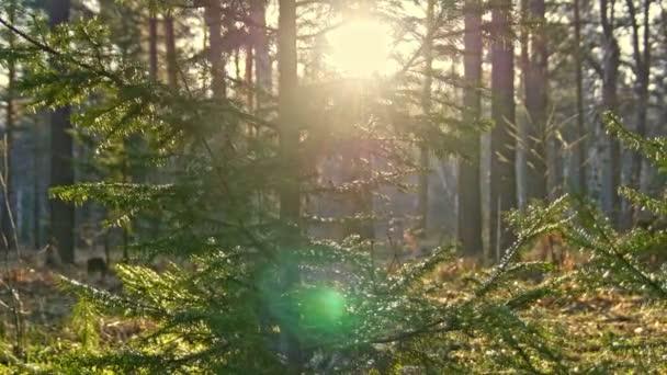 Sun prorážet smrk a bříza stromy