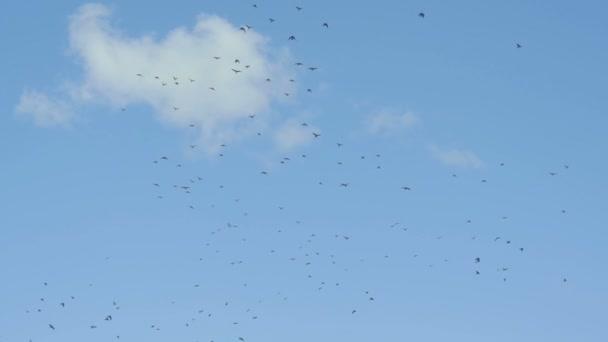 a nyáj madarak slo-mo