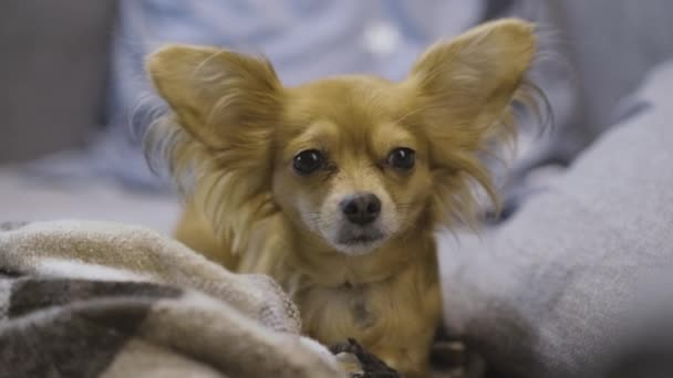 Portré imádnivaló vicces longhair chihuaha kutya a kockás