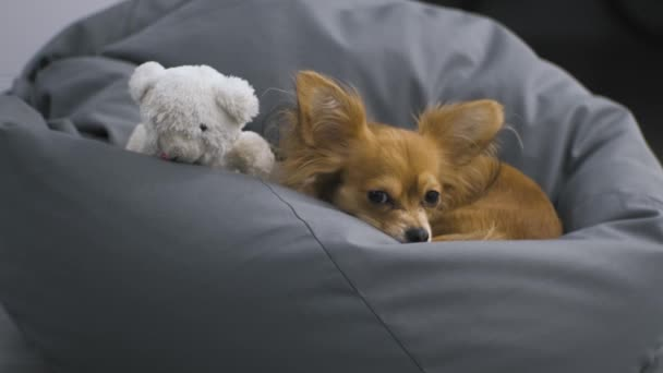 Portrait of Adorable funny longhair chihuaha dog on a soft chair with a toy