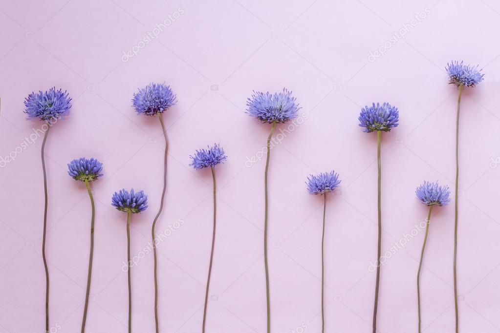 Wild purple flowers arranged in a row on pink background. Top view. Flat lay