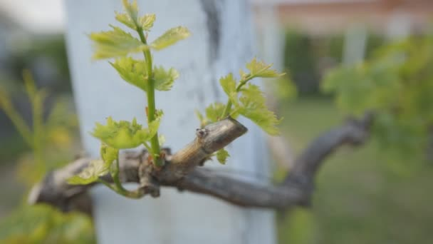 grape field vine closeup