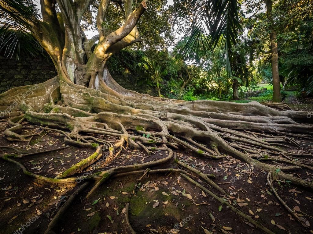 Wurzel Feigenbaum