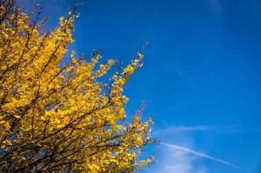 Yellow spring tree