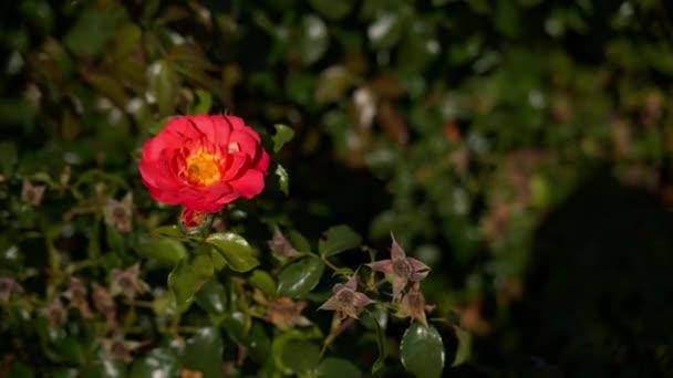 Bud červený květ s kapkami rosy na trávě pozadí