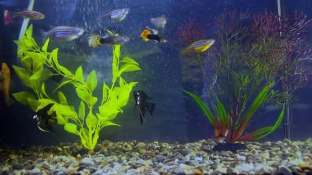 Aquarium fish swim among the algae