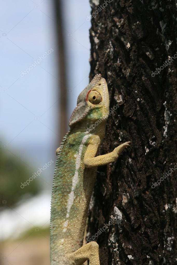cameleon sur un arbre