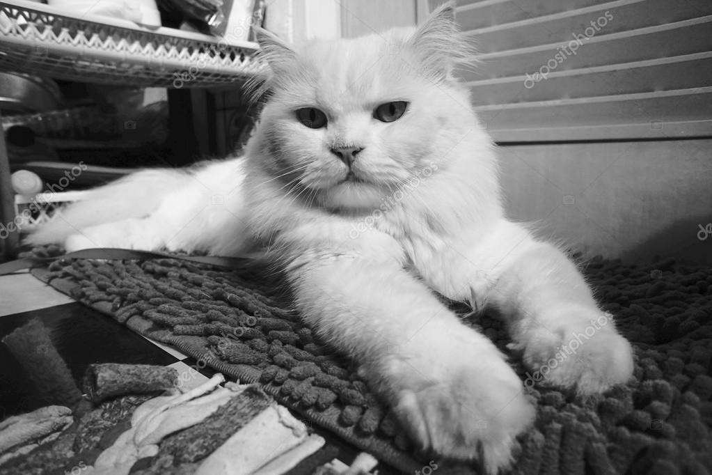 Gatto Persiano Bianco In Stile Bianco E Nero Foto Stock