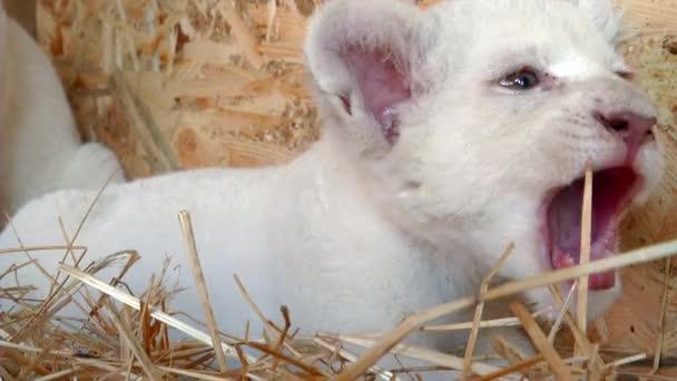 Fehér oroszlán kölyök ragadozó