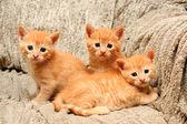Fotografie tři malé zázvor kotě sedící v křesle