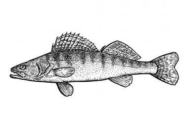 Zander, pike pearch fish illustration, drawing, engraving, line art, realistic