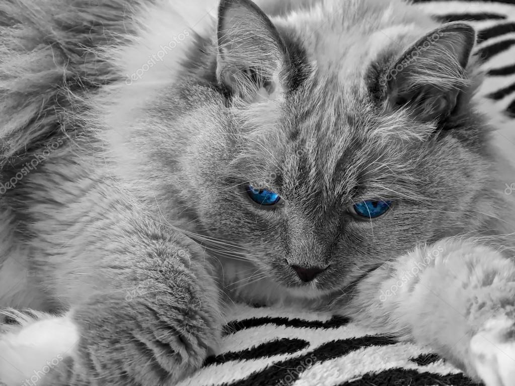 Ragdoll Cat Wiht Blue Eyes Stock Photo C Marinapoushkina 115156456