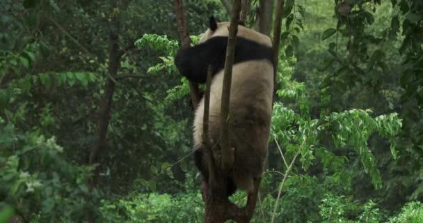 Funny Giant Panda Is Climbing Small Tree