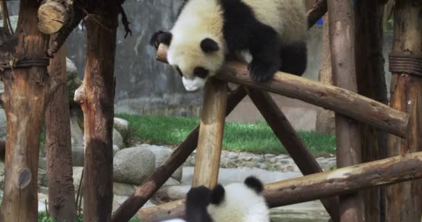 Two panda playing with each other by wooden stake.