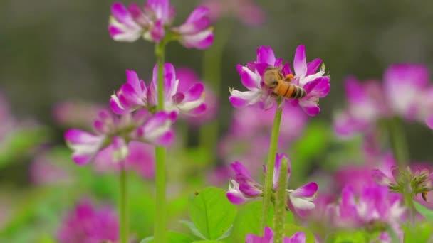 Med včela na jaře kvetoucí louka květ