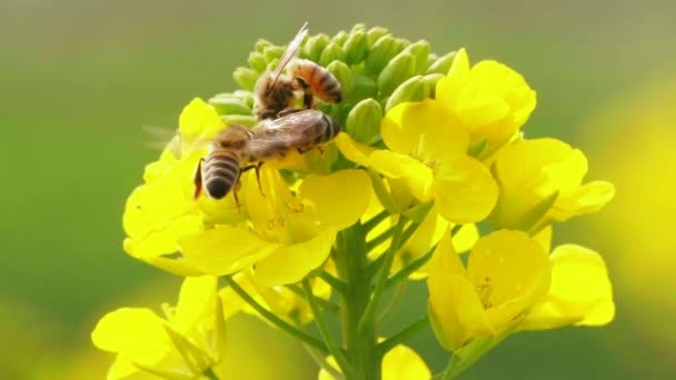 Bienen auf der Rapsblüte im Frühling