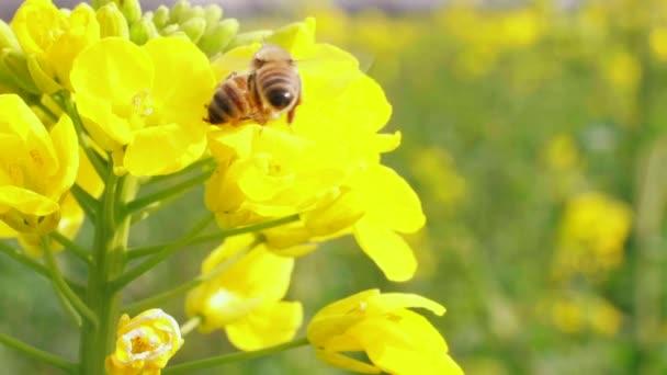 Bee on yellow canola flowers