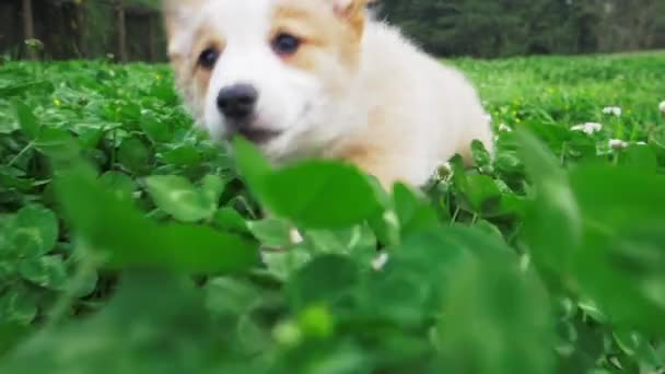 A Corgi Is Running In Thick Grass