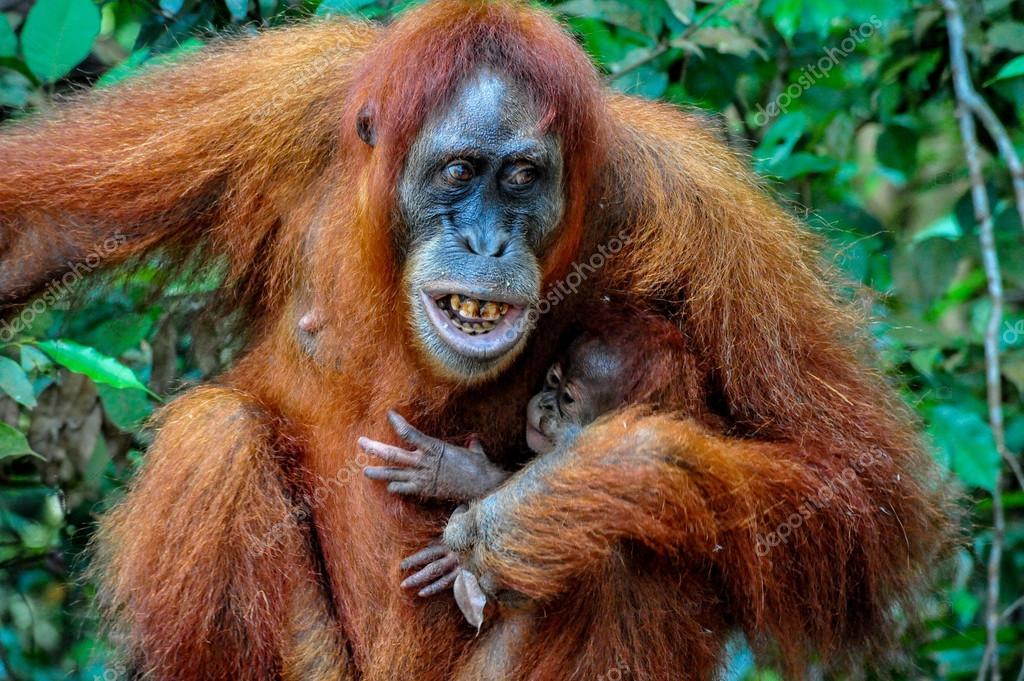 Resultado de imagen para orangutan bebe