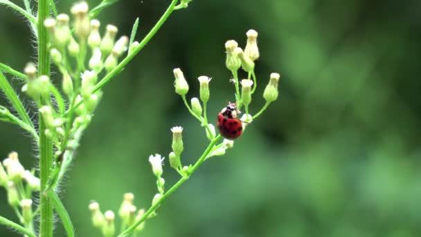 Beruška pojídající mšice z rostliny venku.