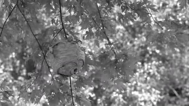 Papírové vosí hnízdo visící ze stromu v lesích v divočině v létě v černé a bílé.