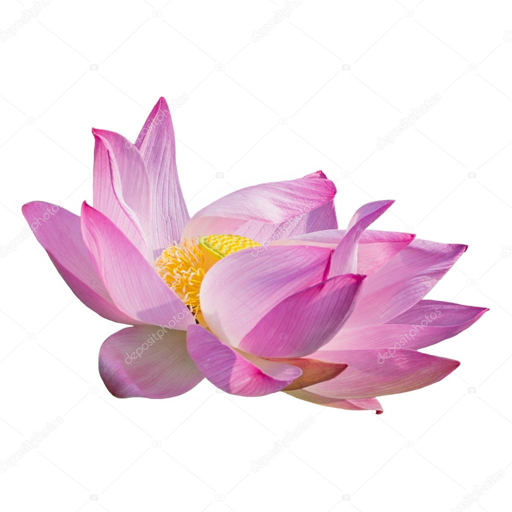 Open lotus flower komarova stock photo ankxiteatr 120915306 open lotus flower komarova stock photo izmirmasajfo