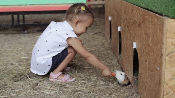 Little girl feeding guinea pig