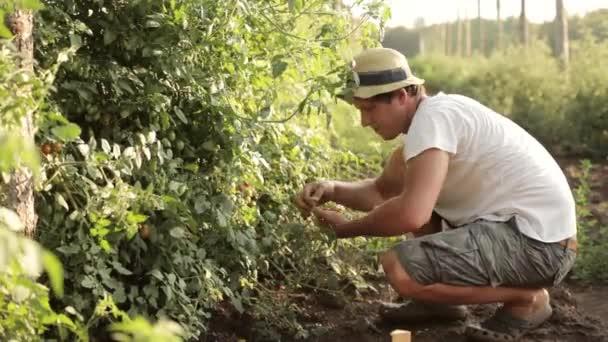 Organikus farm szedés egy cseresznye paradicsom mezőgazdasági termelő