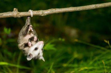 Baby Opossum in the wild