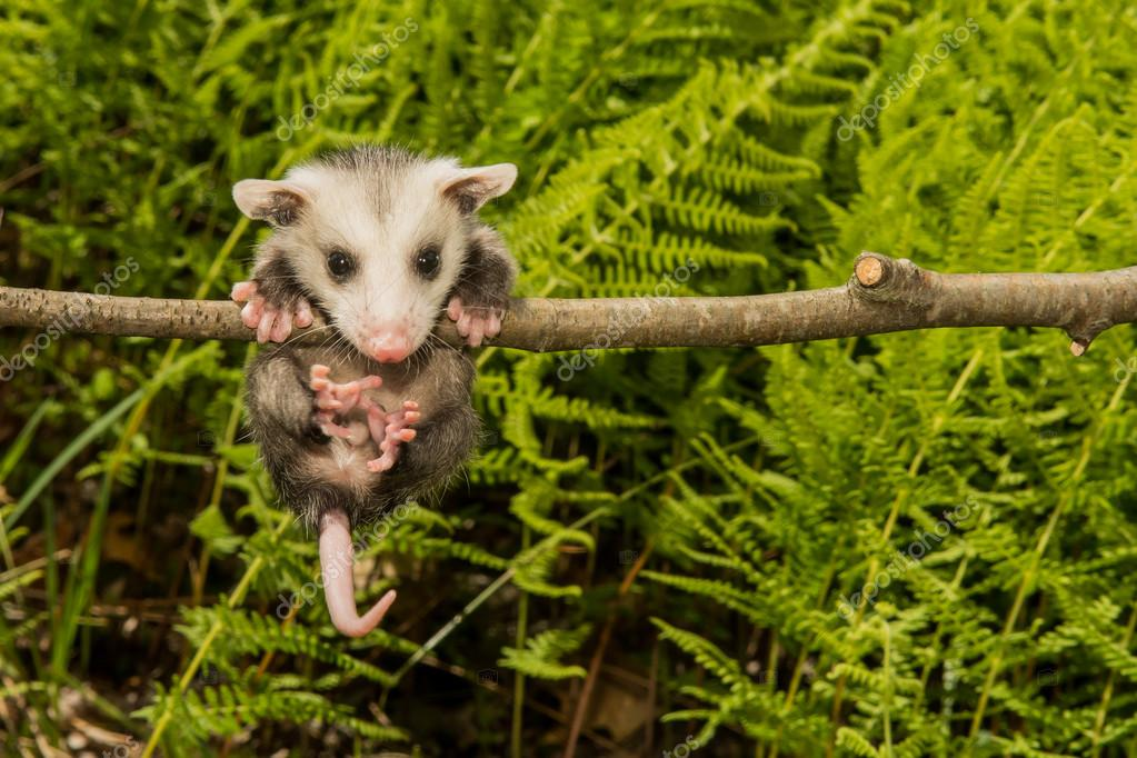 Baby Opossum in the wild