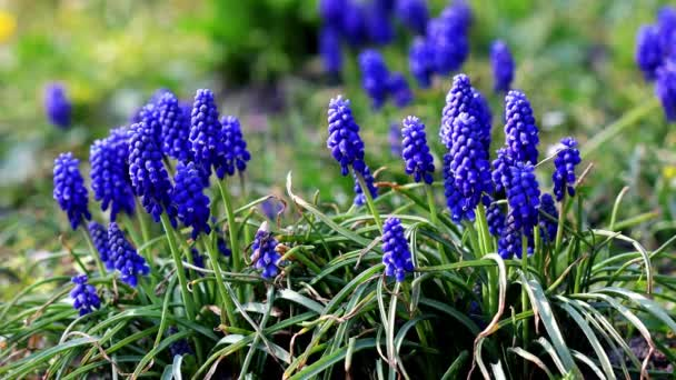 Purple and blue flowers on a green grass background. Muscari Armenian.