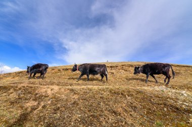 Three cows were walking on the mountains.