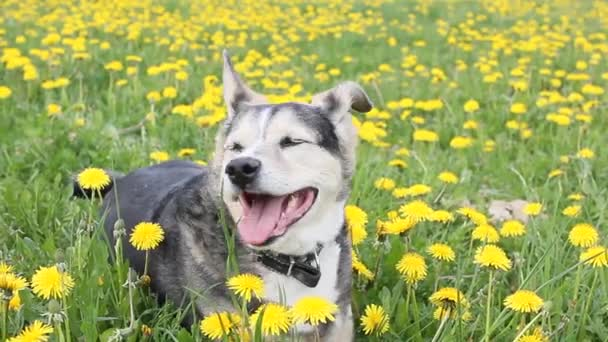 dog with dandelions in the meadow