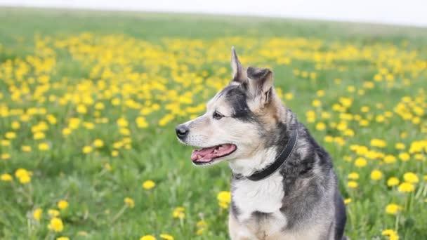 záběry radostného psa v létě na kvetoucím poli ve žlutých pampeliškách.