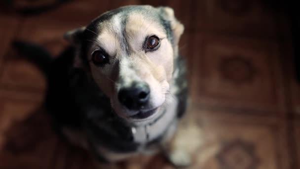 roztomilý a smutný pes dívá do kamery, zatímco sedí doma