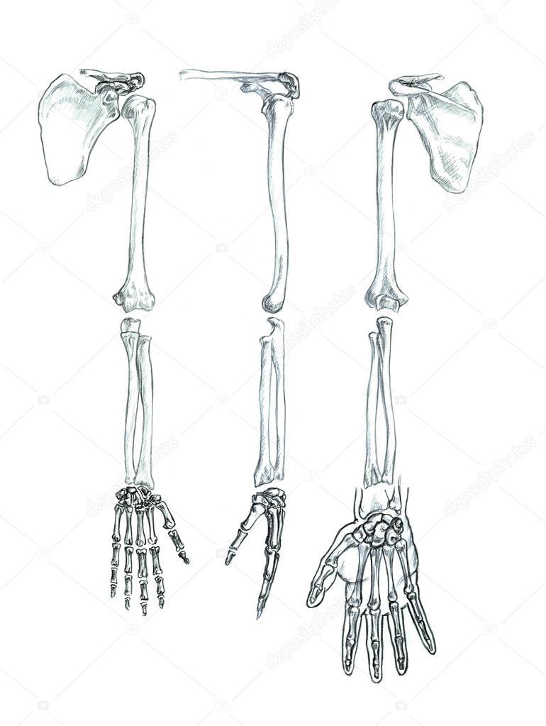 huesos de la extremidad superior — Foto de stock © PSArtDesignStudio ...