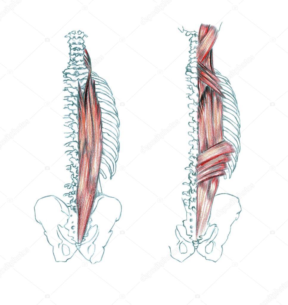Muskeln des Rückens — Stockfoto © PSArtDesignStudio #123524250
