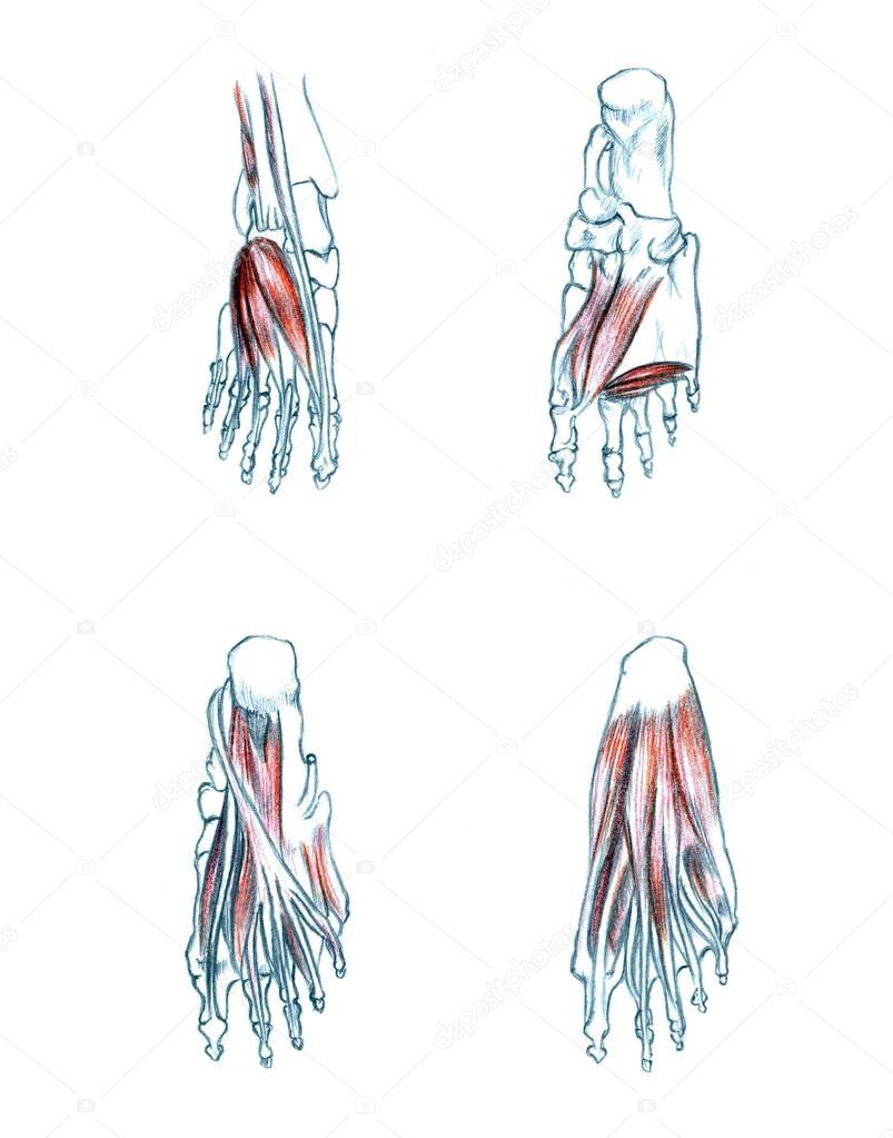 Muskeln des Fußes — Stockfoto © PSArtDesignStudio #123525006