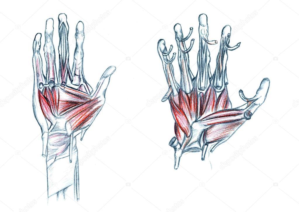 Músculos de la mano — Foto de stock © PSArtDesignStudio #123525008
