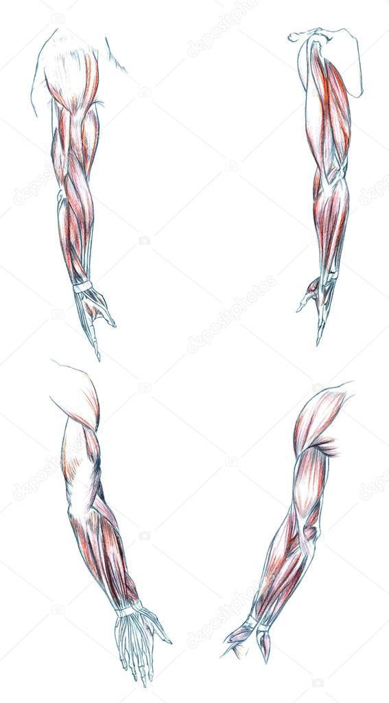 Muskeln des Arms — Stockfoto © PSArtDesignStudio #123525244