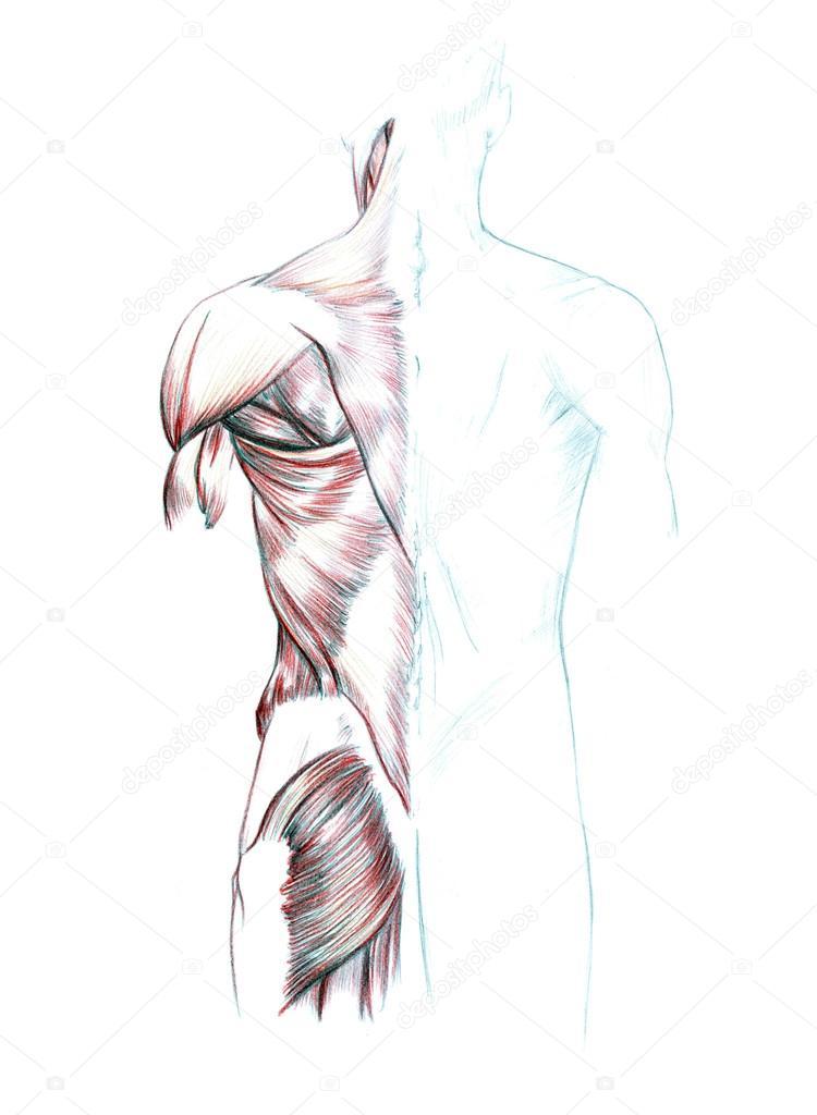 Muskeln von Rücken, Schultern und Gesäß — Stockfoto ...