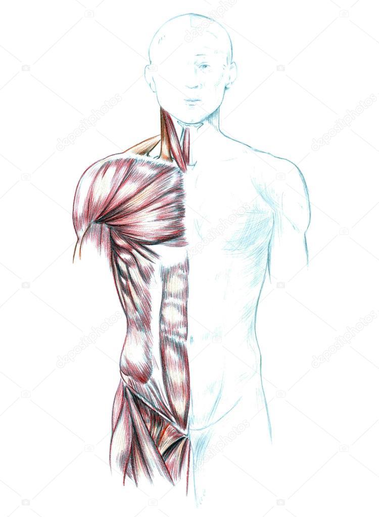 Muskeln von Nacken, Schultern, Brust und Bauch — Stockfoto ...